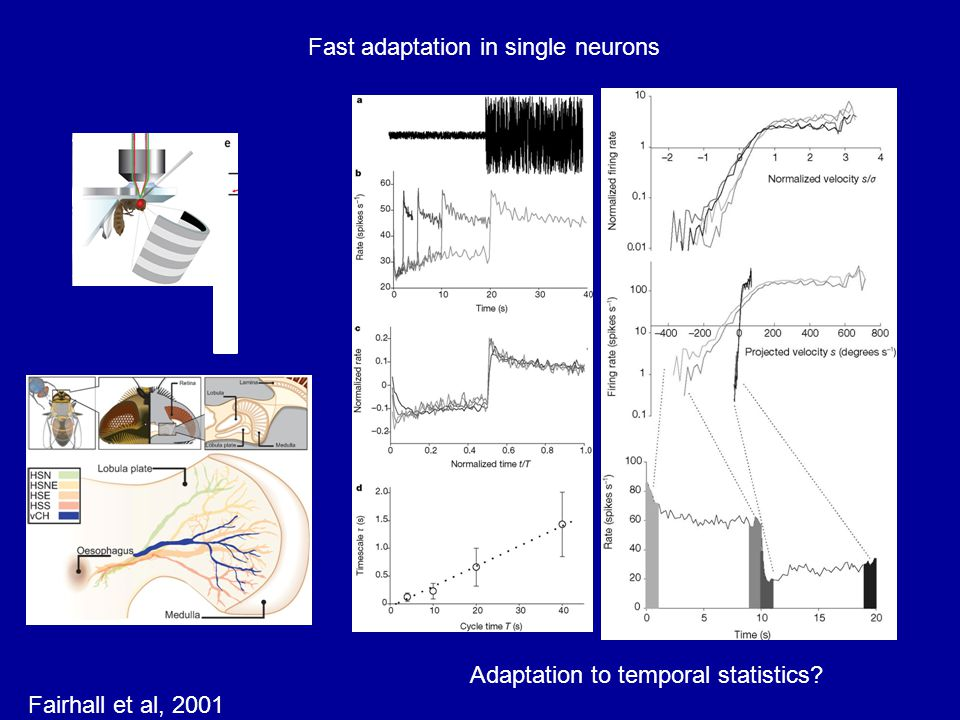 Fast adaptation in single neurons Adaptation to temporal statistics Fairhall et al, 2001