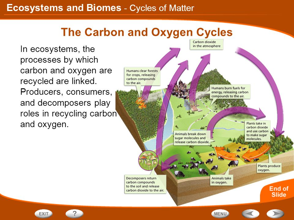 Ecosystems and Biomes The Carbon and Oxygen Cycles In ecosystems, the processes by which carbon and oxygen are recycled are linked.