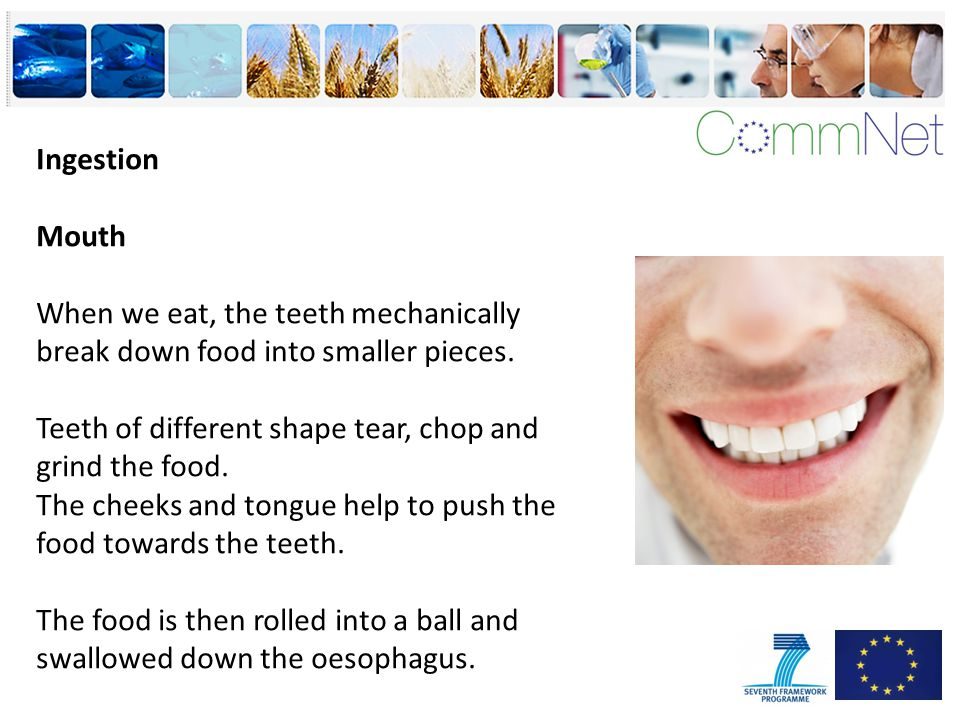 Ingestion Mouth When we eat, the teeth mechanically break down food into smaller pieces.