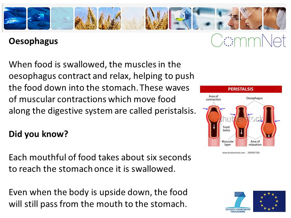 Oesophagus When food is swallowed, the muscles in the oesophagus contract and relax, helping to push the food down into the stomach.