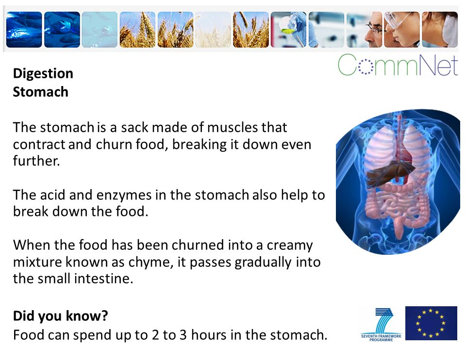 Digestion Stomach The stomach is a sack made of muscles that contract and churn food, breaking it down even further.