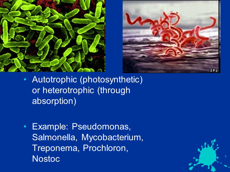 Autotrophic (photosynthetic) or heterotrophic (through absorption) Example: Pseudomonas, Salmonella, Mycobacterium, Treponema, Prochloron, Nostoc