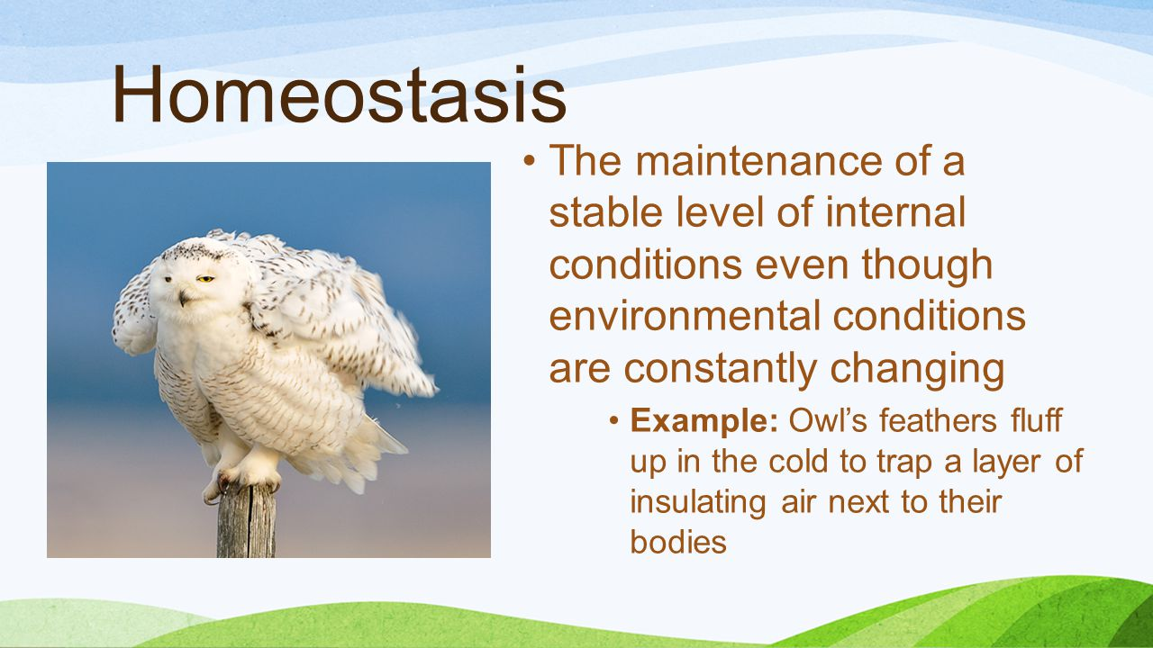 Homeostasis The maintenance of a stable level of internal conditions even though environmental conditions are constantly changing Example: Owl's feathers fluff up in the cold to trap a layer of insulating air next to their bodies