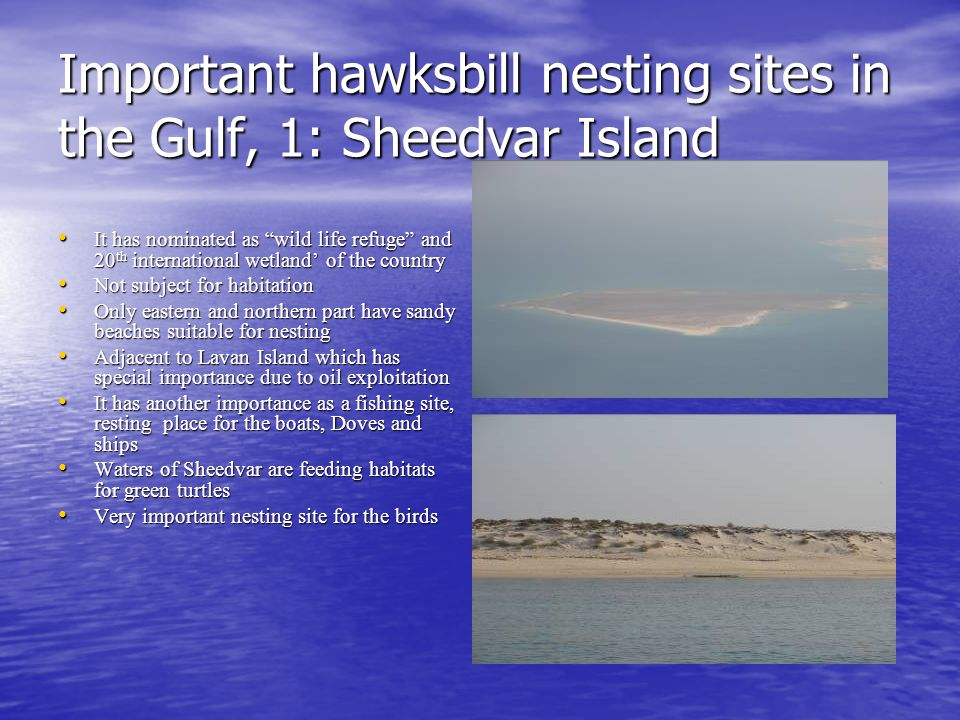 Important hawksbill nesting sites in the Gulf, 1: Sheedvar Island It has nominated as wild life refuge and 20 th international wetland' of the country It has nominated as wild life refuge and 20 th international wetland' of the country Not subject for habitation Not subject for habitation Only eastern and northern part have sandy beaches suitable for nesting Only eastern and northern part have sandy beaches suitable for nesting Adjacent to Lavan Island which has special importance due to oil exploitation Adjacent to Lavan Island which has special importance due to oil exploitation It has another importance as a fishing site, resting place for the boats, Doves and ships It has another importance as a fishing site, resting place for the boats, Doves and ships Waters of Sheedvar are feeding habitats for green turtles Waters of Sheedvar are feeding habitats for green turtles Very important nesting site for the birds Very important nesting site for the birds