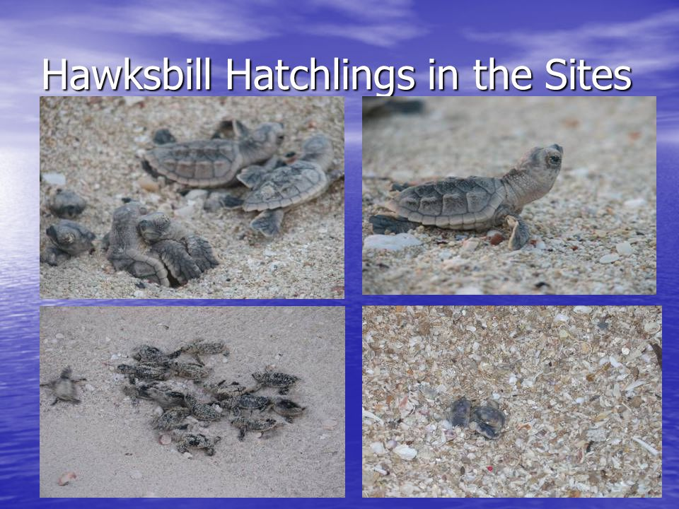 Hawksbill Hatchlings in the Sites