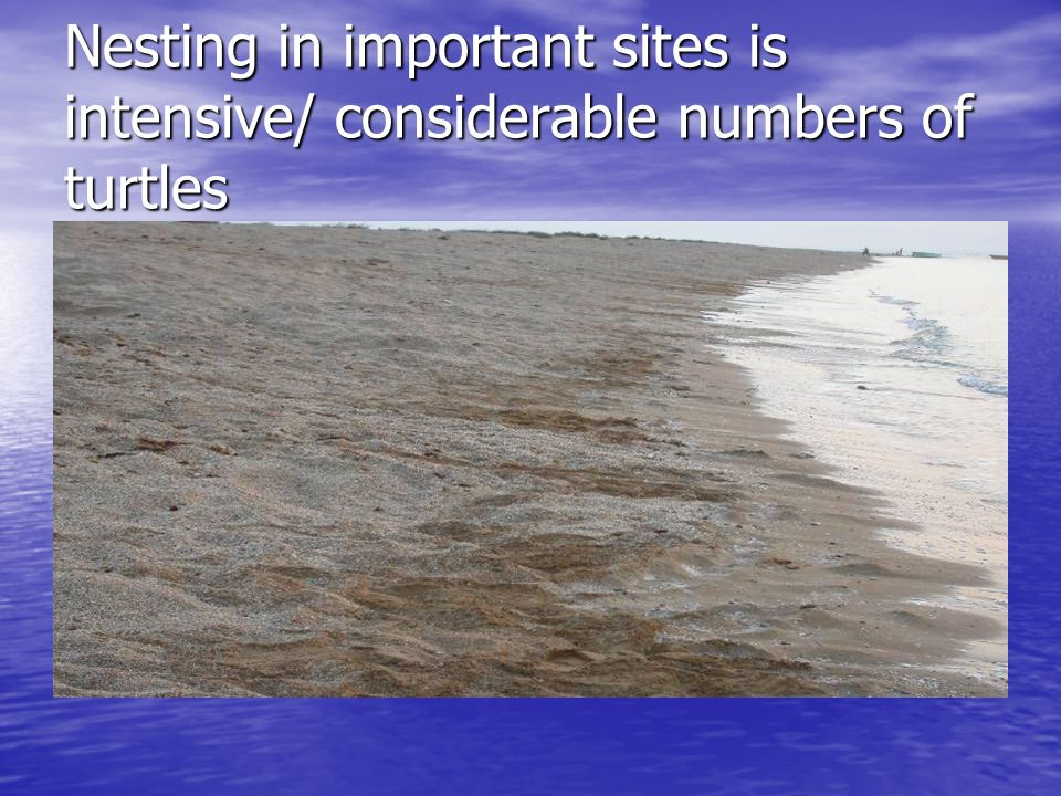 Nesting in important sites is intensive/ considerable numbers of turtles