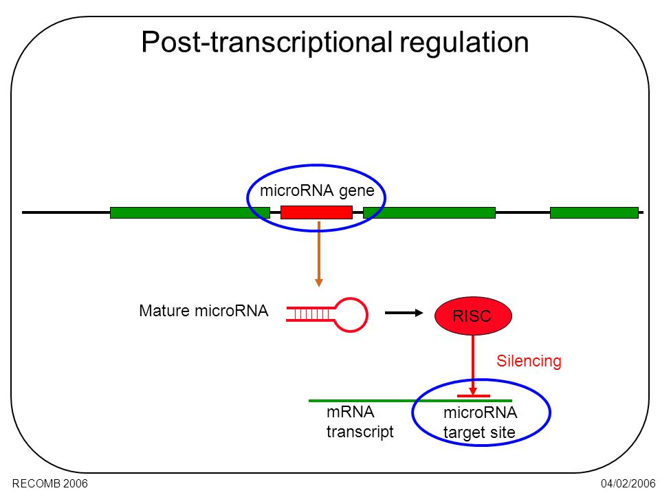04/02/2006RECOMB 2006 Post-transcriptional regulation Mature microRNA microRNA target site RISC mRNA transcript Silencing microRNA gene