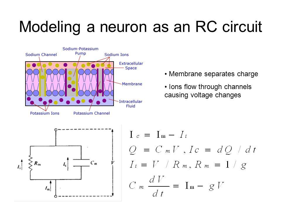 Modeling a neuron as an RC circuit Membrane separates charge Ions flow through channels causing voltage changes