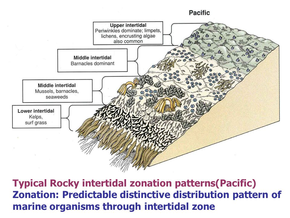 Why is there a difference in the size of limpets on exposed and sheltered rocky shores?