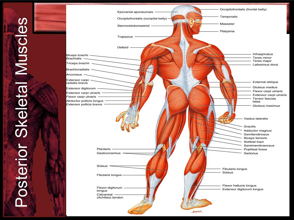 The Muscular System Support Systems Unit 2 Functions Of The