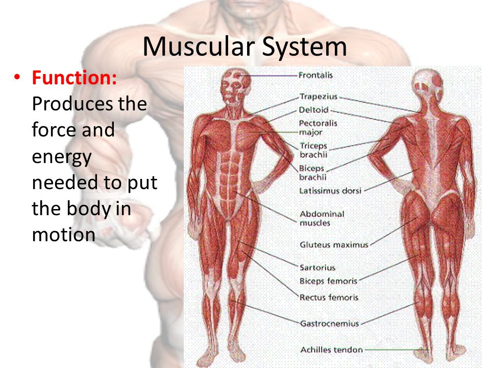 Diagram Muscular System Choice Image - human body anatomy