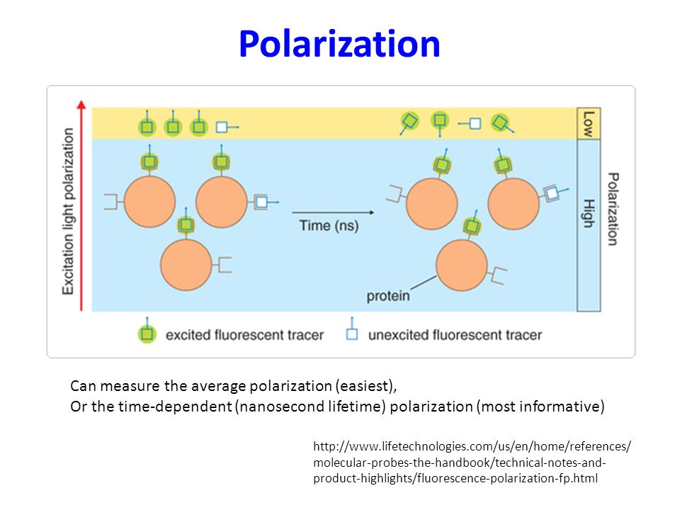 Polarization   molecular-probes-the-handbook/technical-notes-and- product-highlights/fluorescence-polarization-fp.html Can measure the average polarization (easiest), Or the time-dependent (nanosecond lifetime) polarization (most informative)
