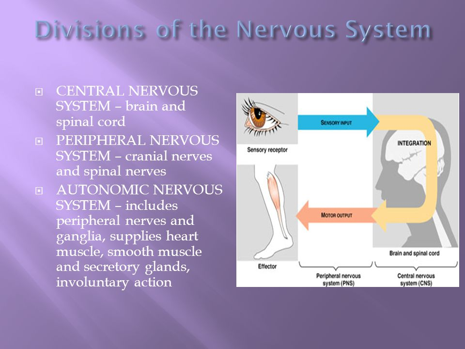  CENTRAL NERVOUS SYSTEM – brain and spinal cord  PERIPHERAL NERVOUS SYSTEM – cranial nerves and spinal nerves  AUTONOMIC NERVOUS SYSTEM – includes peripheral nerves and ganglia, supplies heart muscle, smooth muscle and secretory glands, involuntary action