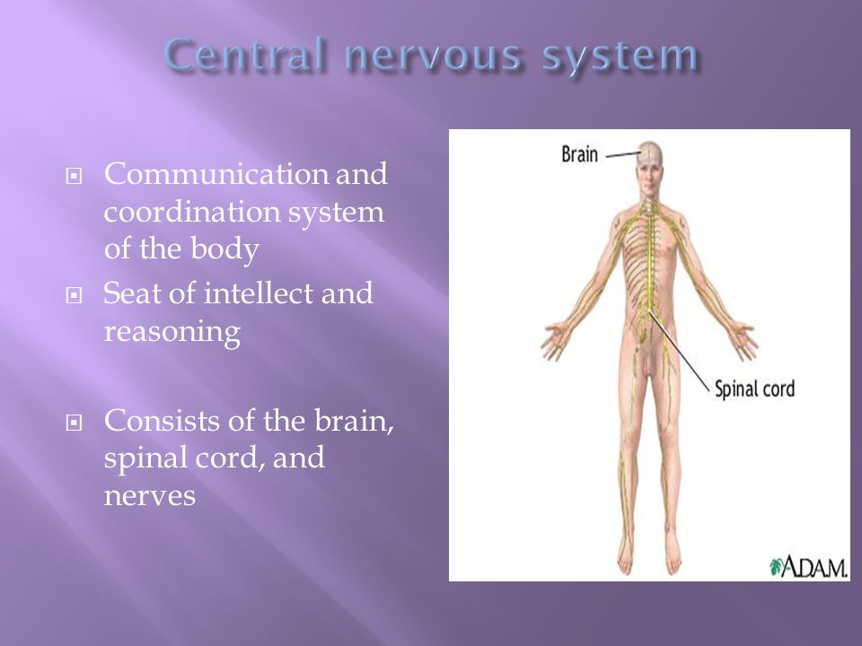  Communication and coordination system of the body  Seat of intellect and reasoning  Consists of the brain, spinal cord, and nerves