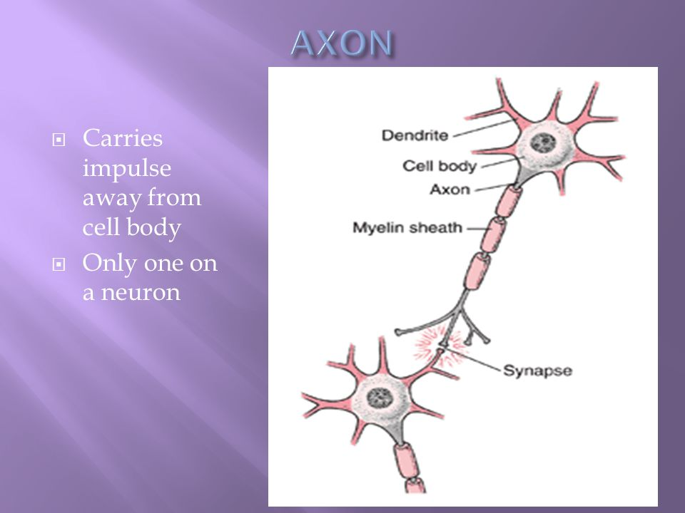  Carries impulse away from cell body  Only one on a neuron