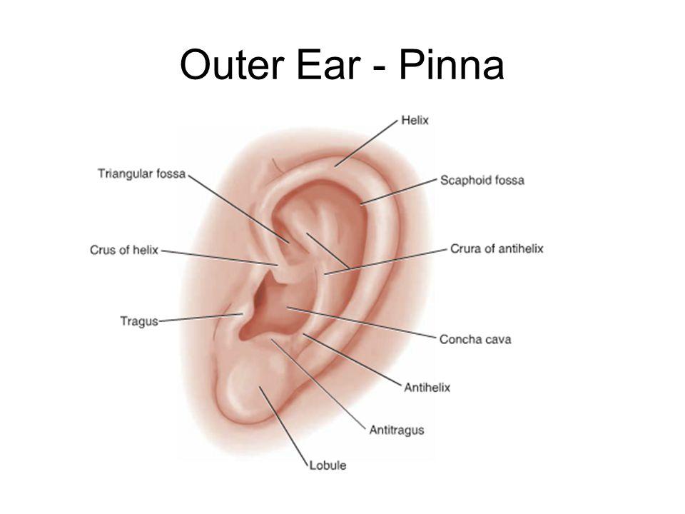 Exelent Anatomy Of Ear Lobe Ensign - Anatomy Ideas - yunoki.info