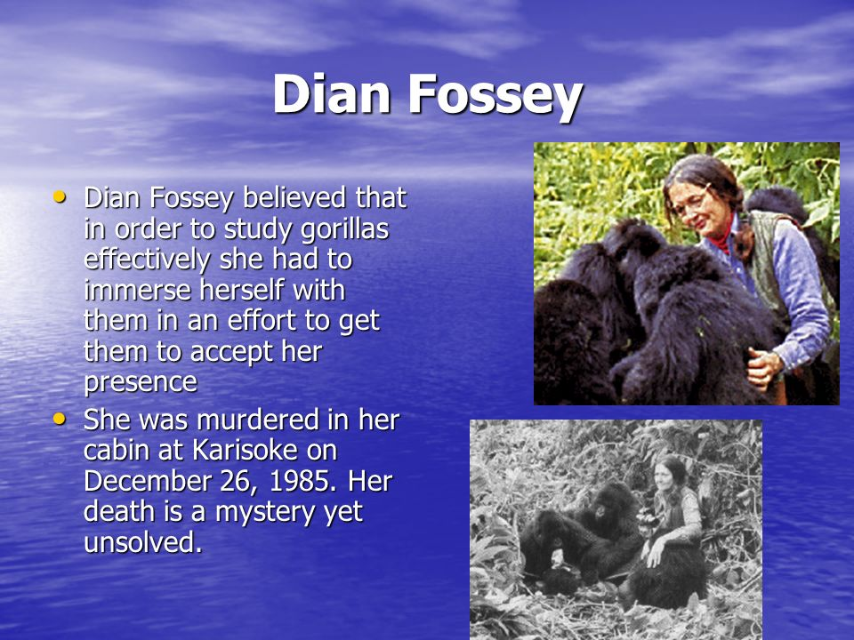 Dian Fossey Dian Fossey believed that in order to study gorillas effectively she had to immerse herself with them in an effort to get them to accept her presence Dian Fossey believed that in order to study gorillas effectively she had to immerse herself with them in an effort to get them to accept her presence She was murdered in her cabin at Karisoke on December 26, 1985.