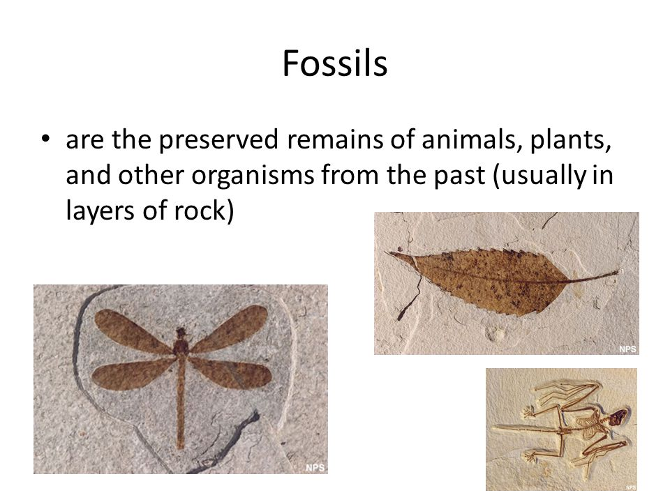Fossils are the preserved remains of animals, plants, and other organisms from the past (usually in layers of rock)