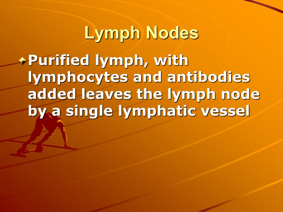 Lymph Nodes Purified lymph, with lymphocytes and antibodies added leaves the lymph node by a single lymphatic vessel