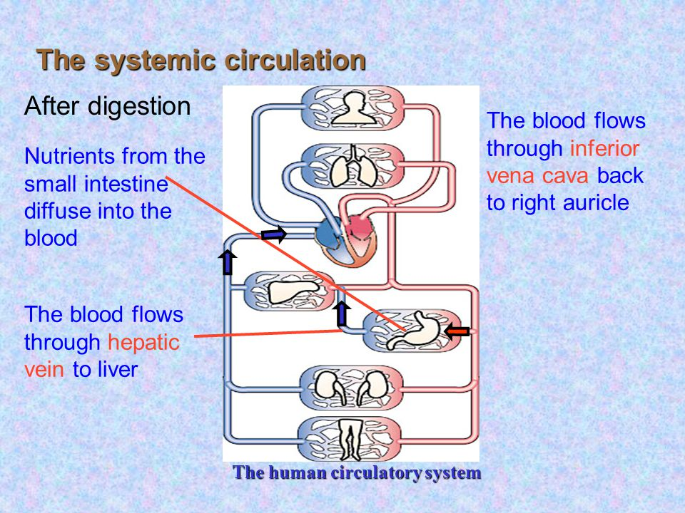 The human circulatory system The systemic circulation 1Oxygenated blood in left ventricle 2The blood is pumped through aorta to all parts of the body except lungs 3O 2 and nutrients diffuse into cells while CO 2 and wastes diffuse out 4The blood flows through inferior/ superior vena cava to right auricle