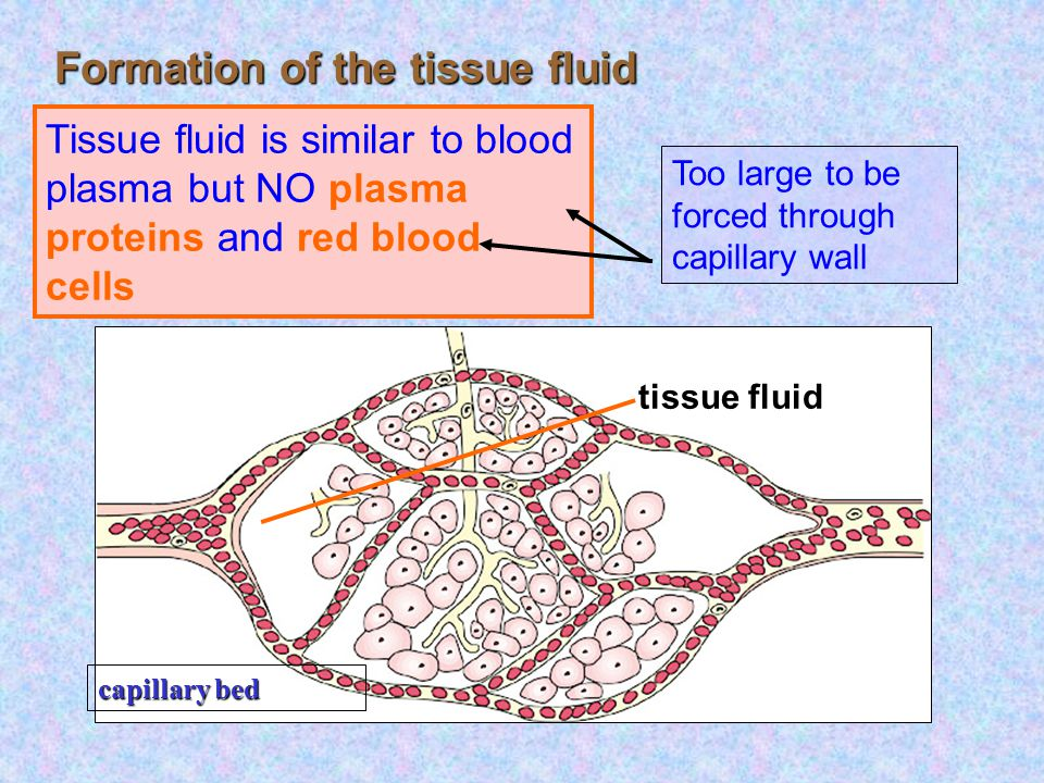 capillary bed body cell red blood cell Formation of the tissue fluid At arterial end : Blood pressure  Osmotic pressure Plasma except RBC and protein are forced out of the capillaries arteriole tissue fluid Tissue fluid