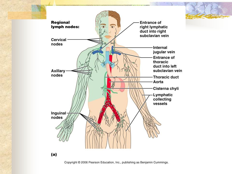 Anatomy and Physiology The lymphatic system. You will recall that ...