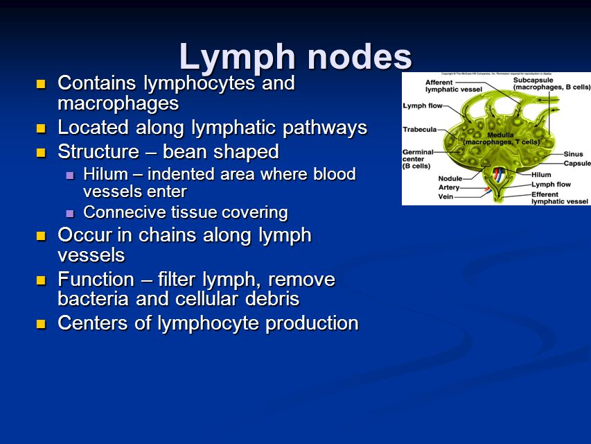Lymph nodes Contains lymphocytes and macrophages Contains lymphocytes and macrophages Located along lymphatic pathways Located along lymphatic pathways Structure – bean shaped Structure – bean shaped Hilum – indented area where blood vessels enter Hilum – indented area where blood vessels enter Connecive tissue covering Connecive tissue covering Occur in chains along lymph vessels Occur in chains along lymph vessels Function – filter lymph, remove bacteria and cellular debris Function – filter lymph, remove bacteria and cellular debris Centers of lymphocyte production Centers of lymphocyte production