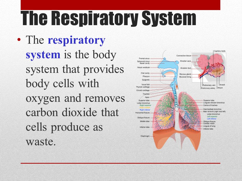 The Respiratory System The respiratory system is the body system that provides body cells with oxygen and removes carbon dioxide that cells produce as waste.