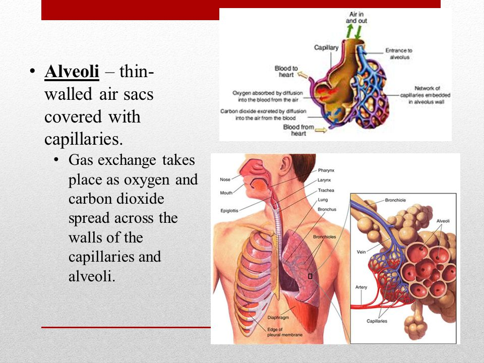 Alveoli – thin- walled air sacs covered with capillaries.