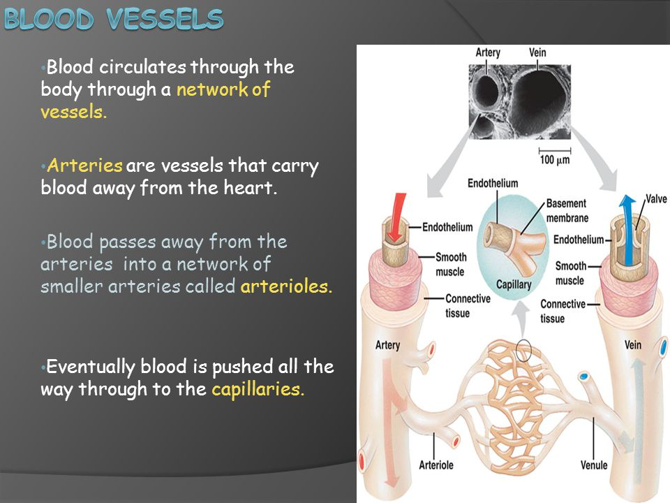 Blood circulates through the body through a network of vessels.