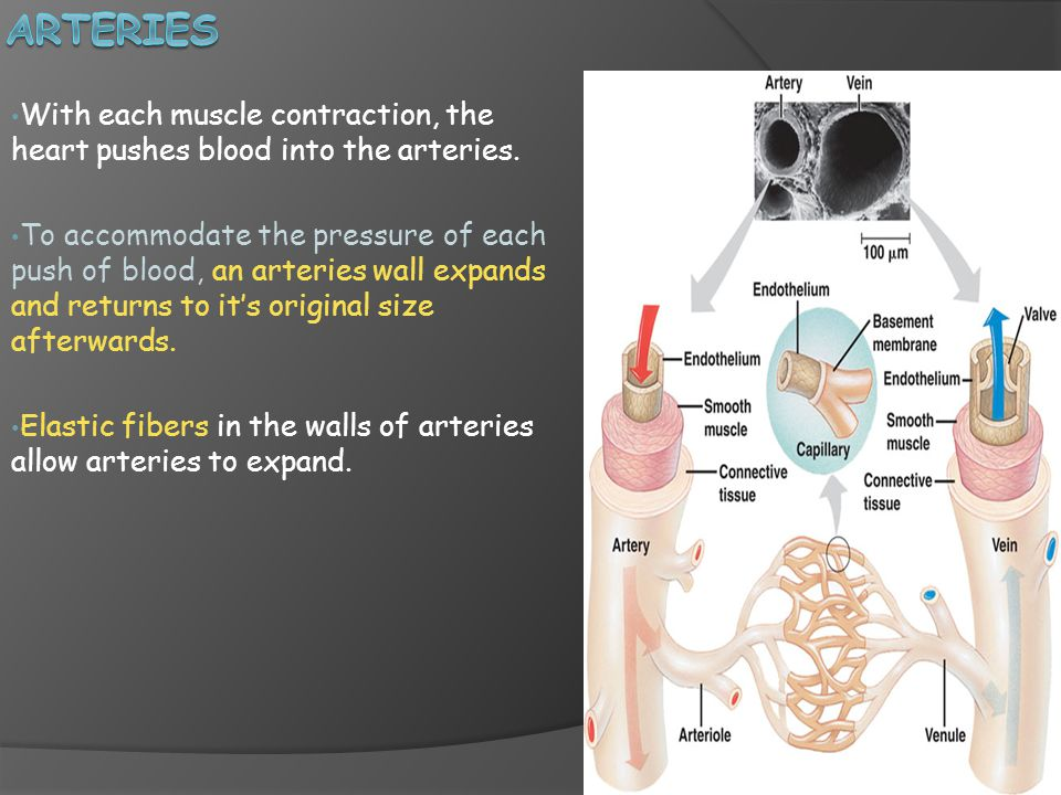 With each muscle contraction, the heart pushes blood into the arteries.