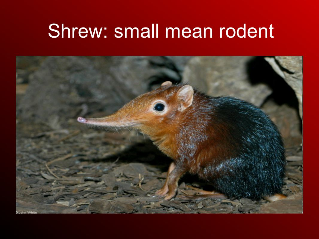 Shrew: small mean rodent