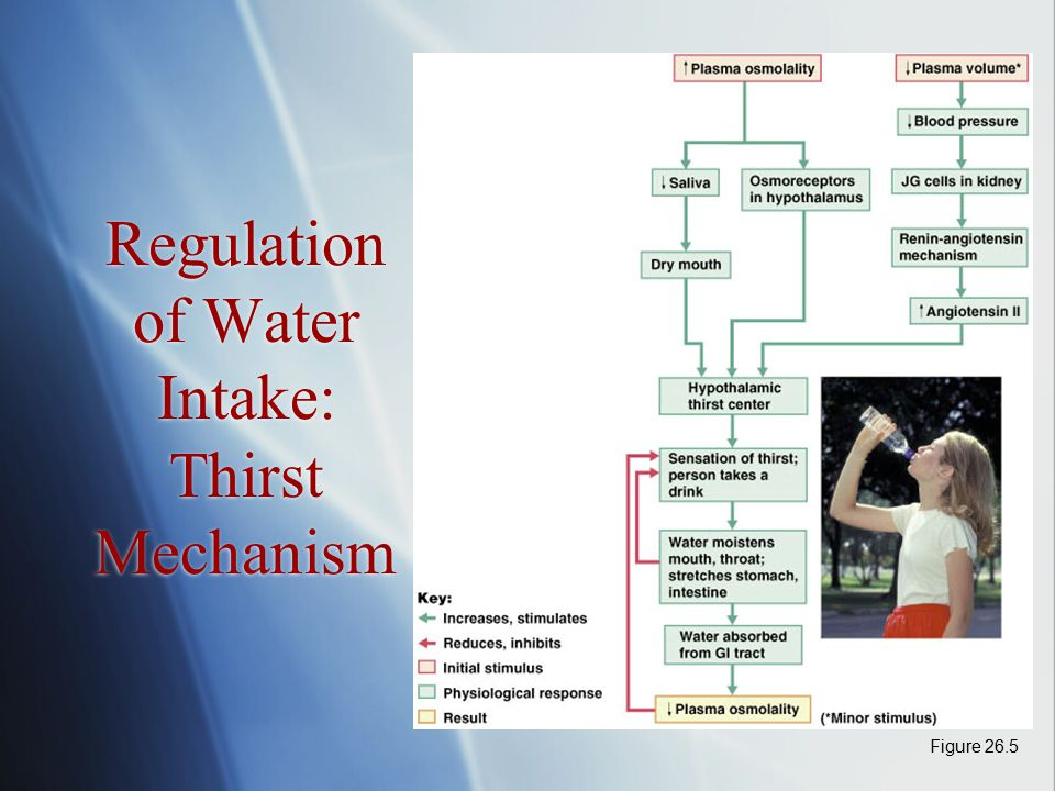 Regulation of Water Intake: Thirst Mechanism Figure 26.5