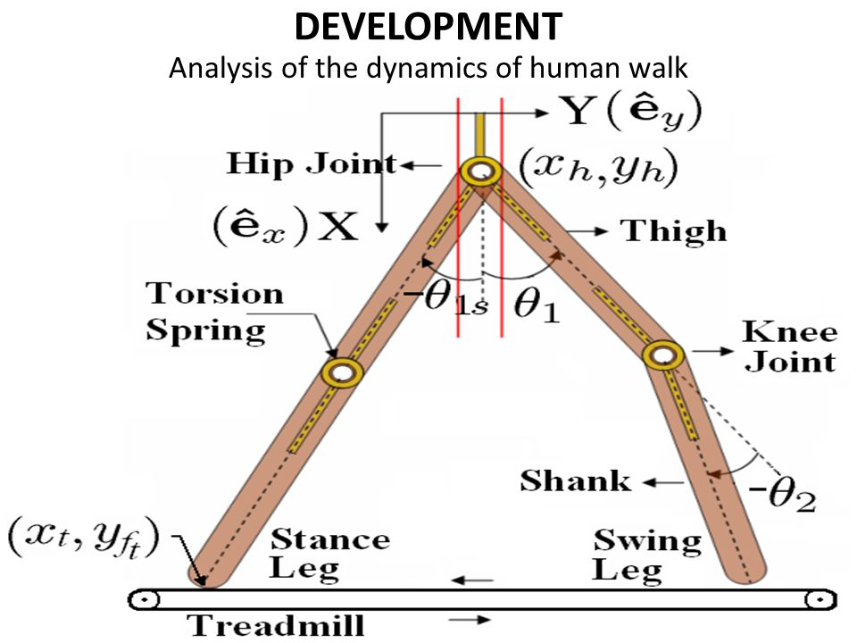 DEVELOPMENT Analysis of the dynamics of human walk