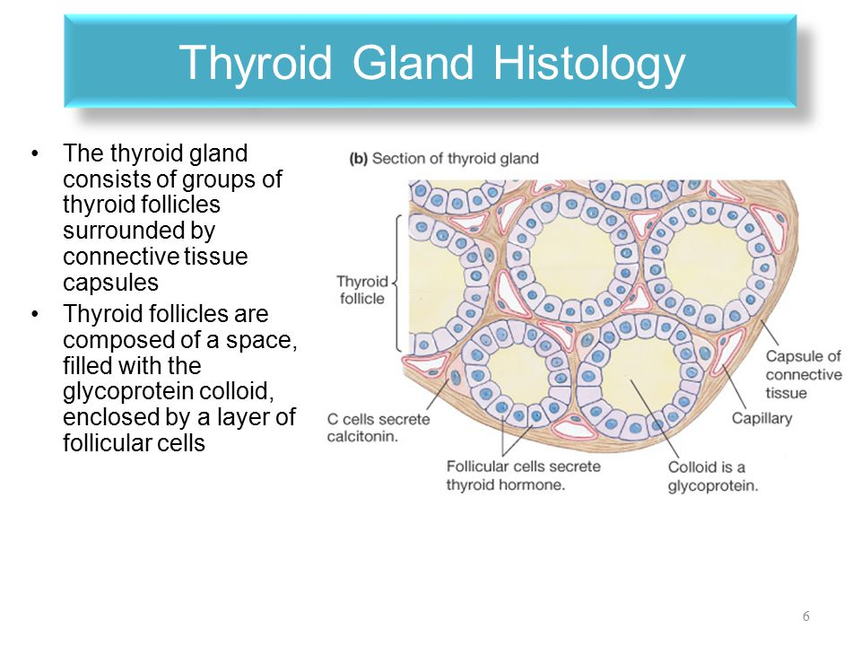 physiology of the thyroid gland - ppt video online download, Powerpoint templates