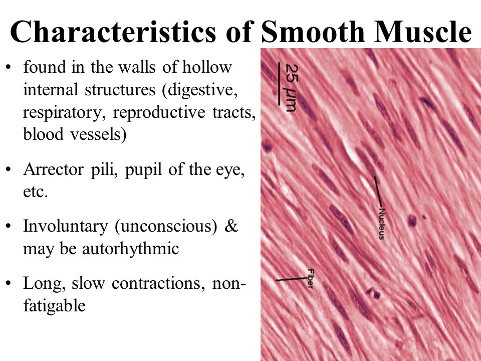 Dense Regular Connective Tissue Vs Smooth Muscle