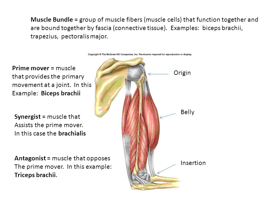 What Muscle Works In A Pair With The Biceps Brachii Keninamas
