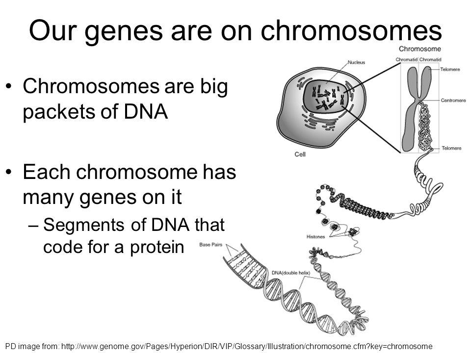 human genetics lab report introduction
