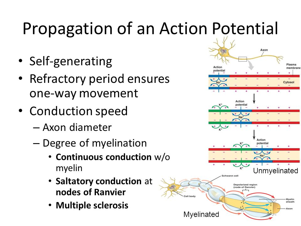 Propagation of an Action Potential Unmyelinated Myelinated Self-generating Refractory period ensures one-way movement Conduction speed – Axon diameter – Degree of myelination Continuous conduction w/o myelin Saltatory conduction at nodes of Ranvier Multiple sclerosis