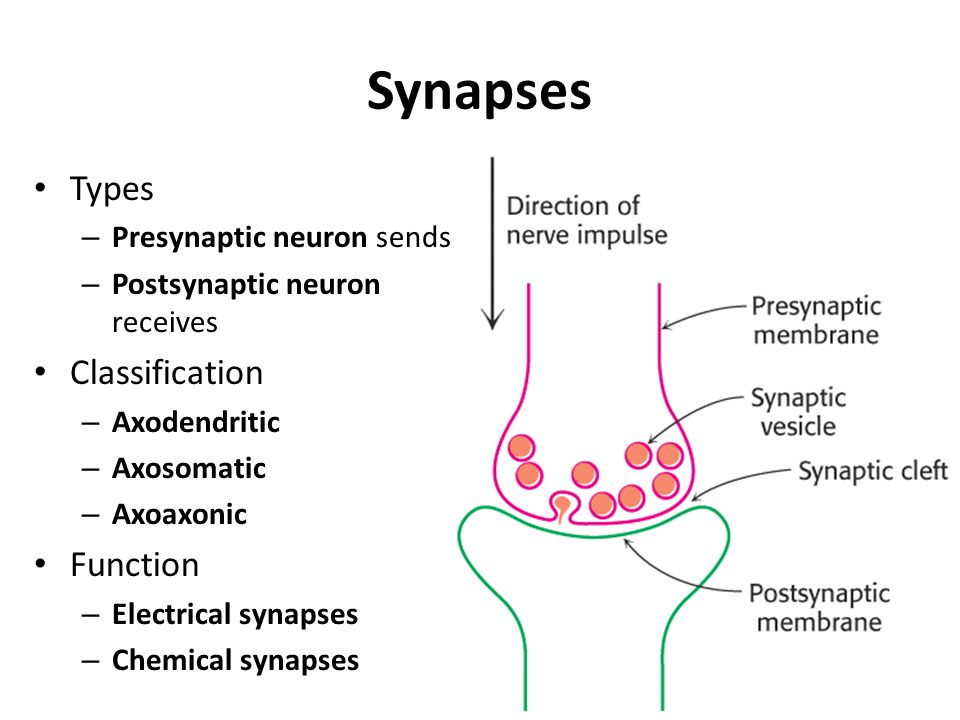 Synapses Types – Presynaptic neuron sends – Postsynaptic neuron receives Classification – Axodendritic – Axosomatic – Axoaxonic Function – Electrical synapses – Chemical synapses