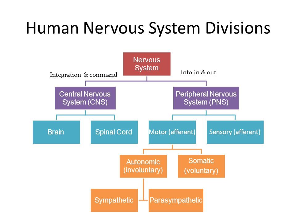 Nervous System Central Nervous System (CNS) BrainSpinal Cord Peripheral Nervous System (PNS) Motor (efferent) Autonomic (involuntary) SympatheticParasympathetic Somatic (voluntary) Sensory (afferent) Human Nervous System Divisions Integration & command Info in & out