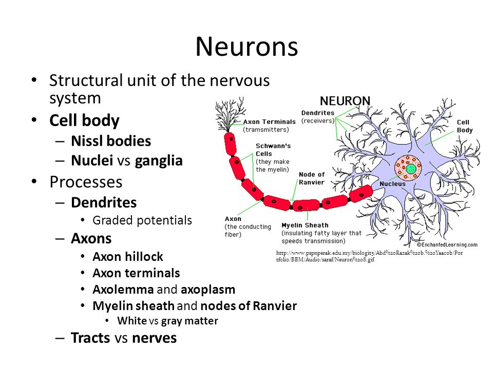 Neurons   tfolio/BBM/Audio/saraf/Neuron%208.gif Structural unit of the nervous system Cell body – Nissl bodies – Nuclei vs ganglia Processes – Dendrites Graded potentials – Axons Axon hillock Axon terminals Axolemma and axoplasm Myelin sheath and nodes of Ranvier White vs gray matter – Tracts vs nerves