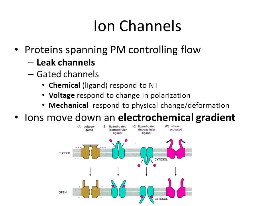 Ion Channels Proteins spanning PM controlling flow – Leak channels – Gated channels Chemical (ligand) respond to NT Voltage respond to change in polarization Mechanical respond to physical change/deformation Ions move down an electrochemical gradient