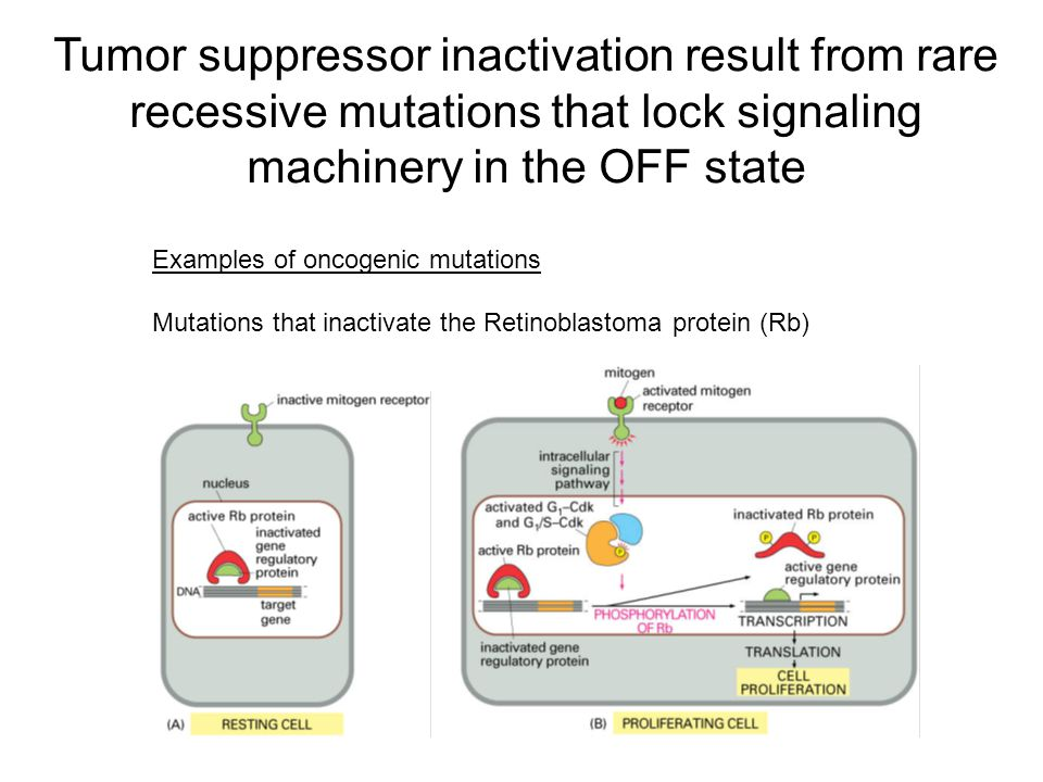 Tumor suppressor inactivation result from rare recessive mutations that lock signaling machinery in the OFF state Examples of oncogenic mutations Mutations that inactivate the Retinoblastoma protein (Rb)