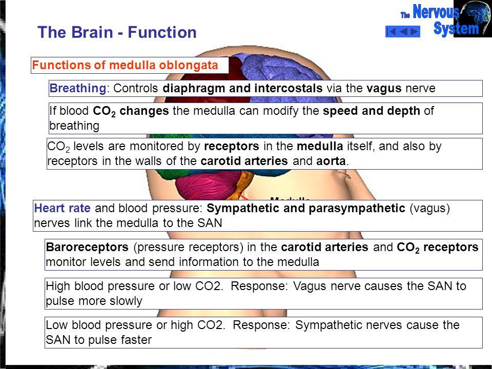 1 functions of the cerebrum, hypothalamus, cerebellum and medulla, Human body
