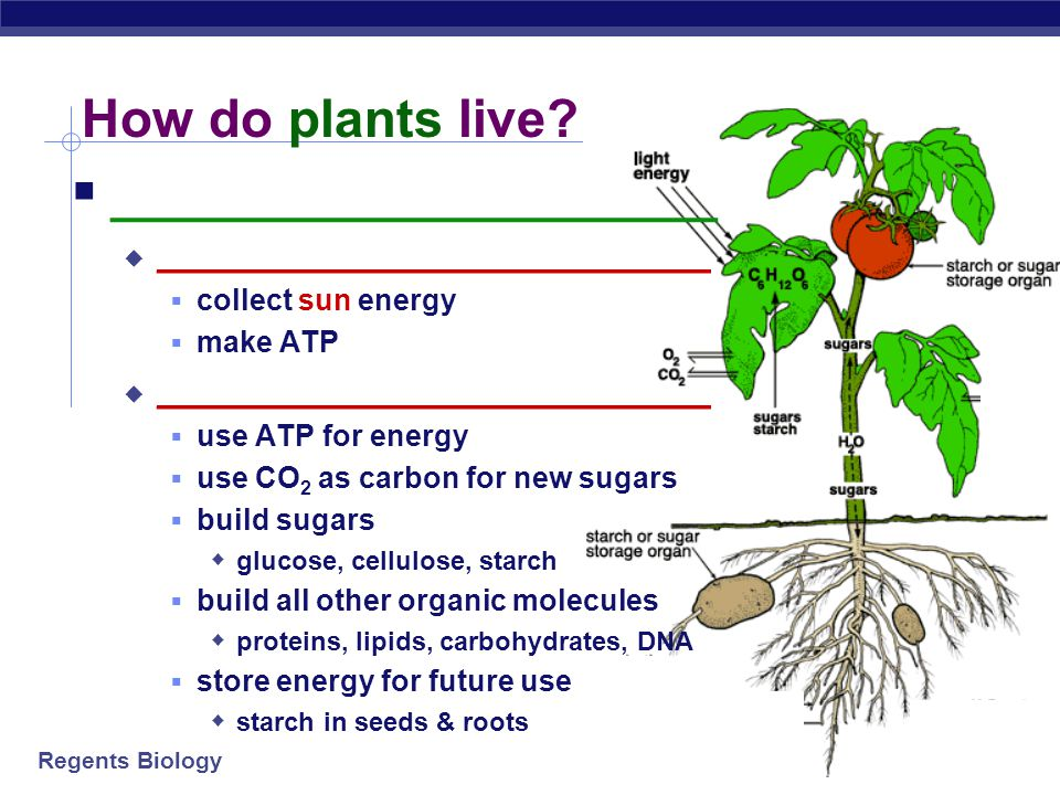 Regents Biology Photosynthesis This is the equation you are used to seeing, but this is not the whole story… + water + energy  glucose + oxygen carbon dioxide 6CO 2 6H 2 O C 6 H 12 O 6 6O 2 light energy  +++