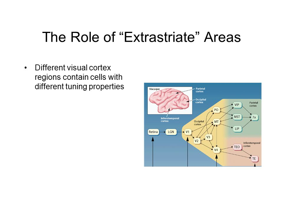 The Role of Extrastriate Areas Different visual cortex regions contain cells with different tuning properties