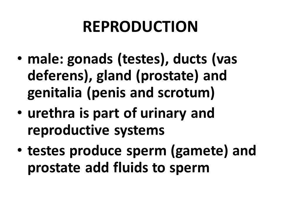 REPRODUCTION male: gonads (testes), ducts (vas deferens), gland (prostate) and genitalia (penis and scrotum) urethra is part of urinary and reproductive systems testes produce sperm (gamete) and prostate add fluids to sperm