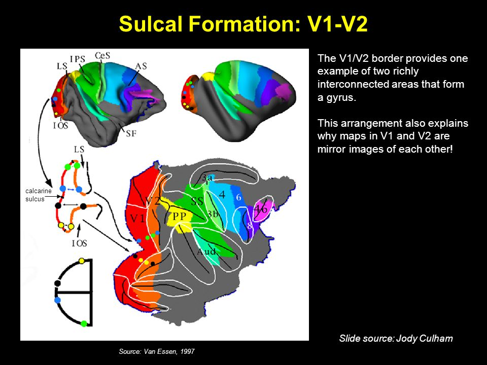 Sulcal Formation: V1-V2 Source: Van Essen, 1997 The V1/V2 border provides one example of two richly interconnected areas that form a gyrus.