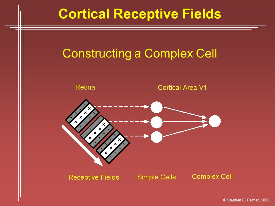 Cortical Receptive Fields Constructing a Complex Cell © Stephen E. Palmer, 2002